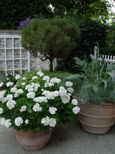 Lovely grouping of terra cotta pots with a topiary in one and white geraniums in another.
