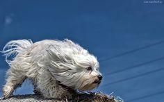 Pies, Hawańczyk, Wiatr