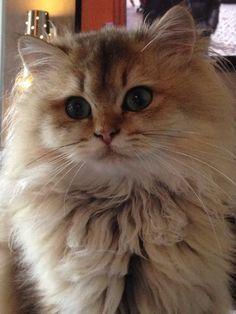 British Longhair B British Longhair Best Swety Cat