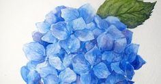 Everybody loves hydrangeas. They're big and showy, and the range of colors runs from the palest baby blue to deep burgundy and purple. I ...