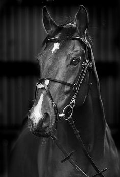 Horse, hest, animal, beautiful, gorgeous, alert, photograph, photo b/w.