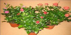 Minyatür Gül Bakımı Nasıl Yapılır? Small Farm, Bonsai, Mandala, Plants, Flower Gardening, Plant, Mandalas, Planets, String Garden