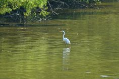 Great White Egret in Lake Luxembourg, or Core Creek Park.