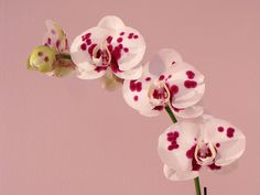 Dalmatian Orchid