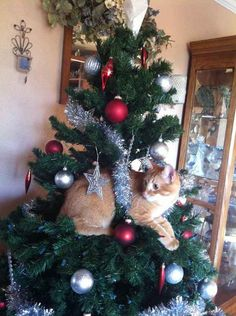 Ce chat pense être une décoration de Noël.