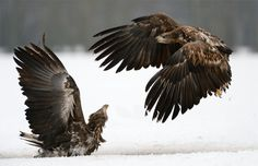 """Oh Oh Troubles !! - Two juvenile White-tailed Eagles.Shot taken near Kutno in mid Poland.  A big thanks to Marcin Nawrocki <a href=""""http://www.polandwildlife.com"""">Poland Wildlife</a> and his cousin Alexander for the great time I've had.  ©<a href=""""http://www.hewaph.com"""">Harry Eggens</a>  Wishing all of you a wonderful weekend,  Harry"""