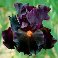 Tall Bearded Iris 'Dracula's Kiss' (with a name like that, I had to pin it)