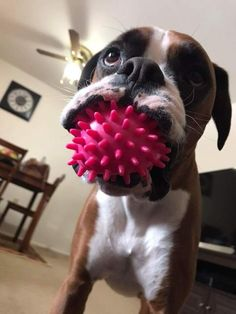 Boxer Dog #BoxerDog