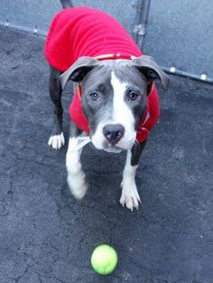 SAFE 04/01/15!  Was TO BE DESTROYED - 03/30/15 Manhattan Center -P  My name is ZELDA. My Animal ID # is A1030921. I am a female blue and white pit bull mix. The shelter thinks I am about 7 MONTHS old. For more information on adopting from the NYC AC&C, or to find a rescue to assist, please read the following: http://urgentpetsondeathrow.org/must-read/