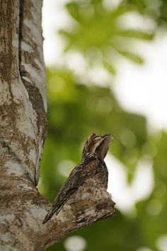 A Little Baby Potoo