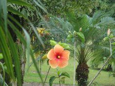 Orange Hibiscus, Costa Rica