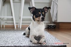 Stockphotosbank photo of a Chihuahua - Tibetan Spaniel crossbreed, laying on the floor looking cute.