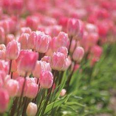 tulips via homes & gardens