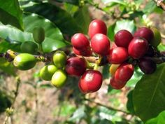 Why Organic Coffee Is Better For You