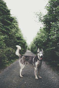 Husky in the woods (fursty)   ikwt