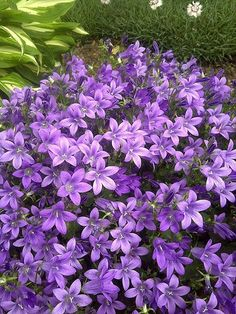 purple perennials that bloom throughout the summer PC Campanula Purple Get Mee: The purple flowers o