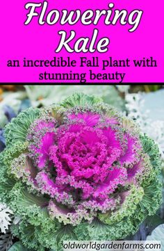 How To Grown Flowering Kale and Cabbage. A great addition to an Fall landscape. Kale Plant, Cabbage Plant, Cabbage Flowers, Cabbage Seeds, Unique Flowers, Fall Flowers, Greenhouse Gardening, Container Gardening, Growing Flowers