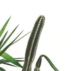 pinterest: @lilyosm   cactus tall arizona plants tumblr green life