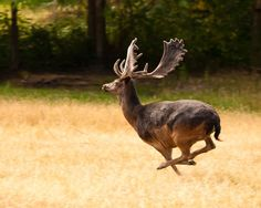 Melanistic Fallow Deer(Dama dama) | Rare Animals | Pinterest