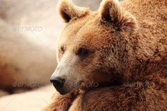 the face of a bear ...  animal, bear, beast, brown, canada, claws, cute, danger, face, mammal, nature, teddy, wildlife, zoo