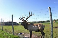 Deer and elk are very good jumpers so farms have to have fences around them that are high and strong. A fence should be to metres high. Deer Fence, Farm Fence, Camano Island, Farm Business, Fence Design, Elk, Pet Care, Outdoor Spaces, Camel