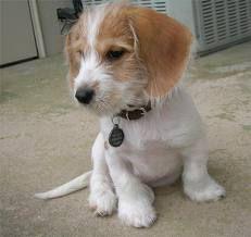 Golden Retriever/Beagle <3