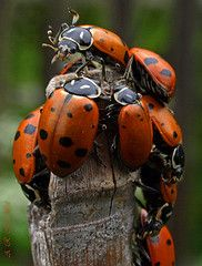 •♥•♥•ℓα∂γвugѕ•♥•♥• >> I love it when I find a ladybug in the garden...it's a feel-good moment...