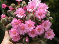 Flores de cactus y suculentas que te dejarán boquiabierto                                                                                                                                                                                 Más