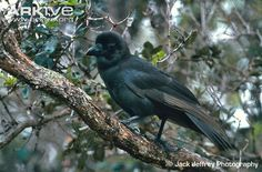 The Hawaiian Crow or ʻAlalā (Corvus hawaiiensis)  The Hawaiian Crow is now extinct in the wild. The last two known wild individuals of this species disappeared in 2002; the species is classified as Extinct in the Wild by the IUCN Red List. While some 109 individuals remain (as of Oct 2012) in captive breeding facilities, attempts to reintroduce captive-bred birds into the wild have been hampered by predation by the Hawaiian Hawk, which is listed as Near Threatened.