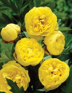 Yellow Crown Peony - Veseys Paeonia Itoh Veseys Top Pick An extremely unique and sought-after yellow peony! Fully double flowers are showcased marvellously against the lush green foliage. It 's a real show piece! No other flower can compete with the perfection and the fragrance of the Peony. The silky petals and romantic shades make this cut flower beyond compare. The lush green foliage is also an exquisite filler in mixed bouquets. Plant them in full sun anywhere you can enjoy their…