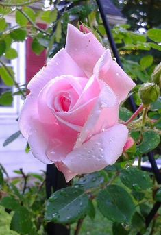 Lindisimo color de Rosa