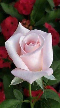 Blumen Rosen Rose Seeds Double Delight Hybrid Tea Rose Bonsai Flower Lovely Jam This text opt Beautiful Rose Flowers, Love Rose, Amazing Flowers, My Flower, Beautiful Flowers, Beautiful Beautiful, Absolutely Stunning, Beautiful Pictures, Bloom