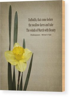"""""""Daffodil in Spring"""" by Nikolyn McDonald is a single flower illustrating a quotation from Shakespeare: """"Daffodils that come before the swallow dares and take The winds of march with beauty"""".  The texture of the background, the faded color, and the subdued wood grain showing through the print give this fresh spring floral a vintage look.   narcissus,text,season,plants,jonquil,yellow,brown,garden,blossom,bloom,nikki,nikolyn,mcdonald"""