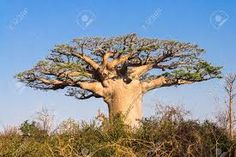 What are superfoods? Discover the top superfoods and their benefits Madagascar, Top Superfoods, Dinosaurs Live, Baobab Tree, Picture Tree, Photos, Pictures, National Geographic, Image Search