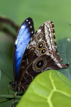Giant Blue Morpho (Morpho didius - semi-closed wings) is a Neotropical butterfly belonging to the Nymphalidae family, Morphinae subfamily.