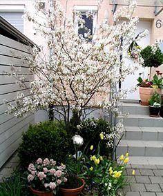 Multitalent Felsenbirne Rock pear: pretty shrub, delicious fruits - my beautiful garden Terrace Garden, Garden Plants, Indoor Plants, Small Terrace, Hydrangea Seeds, Hydrangea Care, Small Gardens, Outdoor Gardens, Citrus Garden