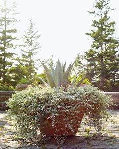 This Soderholtz pot is one of a pair (the other is shown at the beginning of this gallery). At about five feet across, it provides lots of room for a giant agave, a profusion of helichrysum, and some red-flowering echeveria. In general, the plants Martha has chosen for the terrace are easy to care for. Agaves and other succulents don't need a lot of water, and most of the plants offer interest without flowers, which means no deadheading—and more time to savor Maine's short, sweet summer.