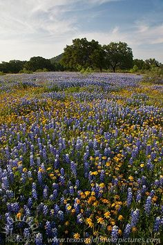 Blue and Gold - Texas Wildflowers, bluebonnets and Huisache daisies, by Gary Regner