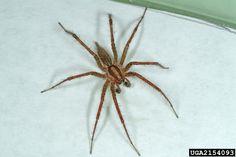 100 best arachnology entomology images spiders animal kingdom bugs rh pinterest com
