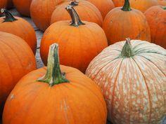 decorator pumpkins at Pinter's