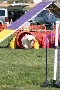 You have taken the time and patience needed with your dog in teaching him the Open Tunnel. He now goes through this agility obstacle from either side with confidence and reliability. Now it is time to 1) Begin running with him as you send him into the Open Tunnel while meeting him at the