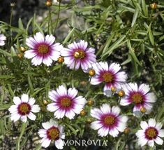 """Sweet Dreams Coreopsis - Perennial Full sun zone 5-8 - 18"""" Tall and Wide - Summer Blooming"""