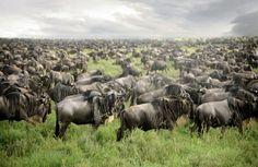 Great Wildebeests Migration in Serengeti