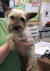 #TENNESSEE #URGENT ~ Crusoe ID 284 appears to be a silky terrier as he is larger than a yorkie.  Sweet but very timid male who needs to be neutered! Crusoe was dropped off on 7/11/13 #Adoption date is 7/15/13. Available for #rescue 7/16/13 Expected Euthanize date is 7/31/13 - in need of a loving adopter or rescue at 300 Woodside Ave #Lewisburg TN animal_control_marshall@yahoo.com Ph 931.359.5948