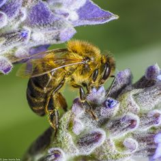 ABEJA 1 by jose maria luis marquez on 500px