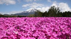 Japanese Flower Festivals  via @worldloveflower