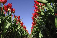 MEMORIAL 2017 Remember Jesus' Death https://www.jw.org/finder?docid=502016800&wtlocale=E&srcid=share   | Red tulips against blue sky
