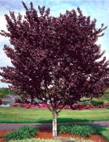 Purpleleaf Plum- Who does not want this gorgeous color added to their curb appeal?
