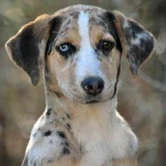 Carahoula leopard dog | Catahoula Leopard Dogs - Dogs - Rioux