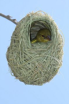 Baby African Weaver Bird in Nest - South Africa Eastern Cape by neeravbhatt